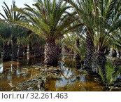 Flooded palm trees gardens gota fria – cold drop September 2019 aftermath, Orihuela coast, Costa Blanca, Spain. Стоковое фото, фотограф Alexander Tihonovs / Фотобанк Лори