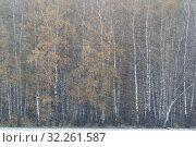 Купить «Стволы берёз и первый снегопад осенью», эксклюзивное фото № 32261587, снято 6 октября 2019 г. (c) Дмитрий Неумоин / Фотобанк Лори