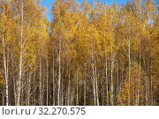 Background with yellow leaves of a birch grove and blue sky. Стоковое фото, фотограф Валерий Смирнов / Фотобанк Лори