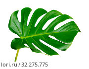 Купить «большой зеленый лист монстеры на белом фоне», фото № 32275775, снято 13 сентября 2019 г. (c) Tamara Kulikova / Фотобанк Лори