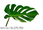 Купить «большой зеленый лист монстеры на белом фоне», фото № 32275783, снято 13 сентября 2019 г. (c) Tamara Kulikova / Фотобанк Лори