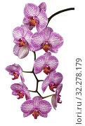 Купить «Branch of flowering pink Phalaenopsis Orchid on white background isolated», фото № 32278179, снято 11 октября 2019 г. (c) Наталья Волкова / Фотобанк Лори