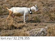 Купить «Белая домашняя коза на горном склоне. Зааненская порода коз», эксклюзивное фото № 32278355, снято 29 августа 2019 г. (c) Щеголева Ольга / Фотобанк Лори