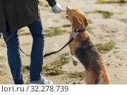 Купить «close up of man playing with beagle dog on beach», фото № 32278739, снято 29 сентября 2018 г. (c) Syda Productions / Фотобанк Лори