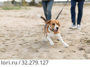 Купить «couple with happy beagle dog on autumn beach», фото № 32279127, снято 29 сентября 2018 г. (c) Syda Productions / Фотобанк Лори