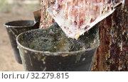 Купить «Collecting pine resin in buckets, closeup», видеоролик № 32279815, снято 20 июня 2019 г. (c) Яков Филимонов / Фотобанк Лори