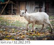 Купить «Little white goat. Portrait of an agricultural animal», фото № 32282315, снято 19 октября 2019 г. (c) Ирина Козорог / Фотобанк Лори