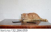 Купить «A beautiful ginger cat lies on table next to two cell phones», видеоролик № 32284059, снято 13 октября 2019 г. (c) Володина Ольга / Фотобанк Лори