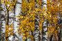 Березовая роща в солнечный день во время бабьего лета. Стоковое фото, фотограф Николай Винокуров / Фотобанк Лори