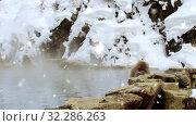 Купить «japanese macaque or snow monkey in hot spring», видеоролик № 32286263, снято 28 января 2020 г. (c) Syda Productions / Фотобанк Лори