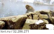 Купить «japanese macaque or snow monkey in hot spring», видеоролик № 32286271, снято 29 января 2020 г. (c) Syda Productions / Фотобанк Лори
