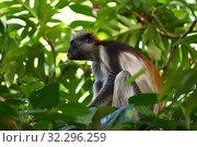 Купить «Zanzibar red colobus in Jozani forest. Tanzania, Africa», фото № 32296259, снято 6 октября 2019 г. (c) Знаменский Олег / Фотобанк Лори