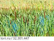 Купить «Камыши возле пруда в солнечный летний день», фото № 32301447, снято 20 августа 2019 г. (c) E. O. / Фотобанк Лори