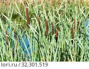 Купить «Камыши в солнечный день летом», фото № 32301519, снято 20 августа 2019 г. (c) E. O. / Фотобанк Лори