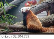 Купить «Малая панда (красная панда)», фото № 32304735, снято 7 ноября 2014 г. (c) Галина Савина / Фотобанк Лори
