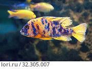Аулонокара мультиколор (Aulonocara sp. «Multicolor») аквариумная рыбка. Стоковое фото, фотограф Татьяна Белова / Фотобанк Лори