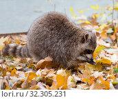Енот-полоскун. Raccoon. Стоковое фото, фотограф Галина Савина / Фотобанк Лори