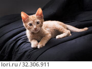 Купить «Red kitten plays on a dark background. Color Orange Tabby Secondary Color», фото № 32306911, снято 19 октября 2019 г. (c) Ирина Кожемякина / Фотобанк Лори