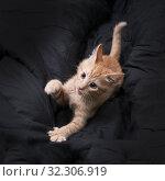 Купить «Red kitten plays on a dark background. Color Orange Tabby Secondary Color», фото № 32306919, снято 20 октября 2019 г. (c) Ирина Кожемякина / Фотобанк Лори