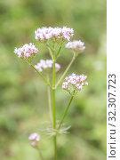 Valerian flower (Valeriana officinalis) Стоковое фото, фотограф Юлия Бабкина / Фотобанк Лори