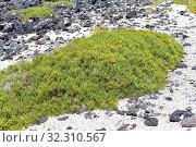 Arthrocnemum macrostachyum is a succulent subshrub that grows on saline soils (salt marshes) in Mediterranean Basin coasts, Canary Islands and Middle East... Стоковое фото, фотограф J M Barres / age Fotostock / Фотобанк Лори