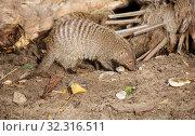 Купить «Полосатый мангуст. Banded mongoose.», фото № 32316511, снято 28 марта 2018 г. (c) Галина Савина / Фотобанк Лори
