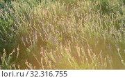 Купить «The Beautiful wild heather closeup a shot. Sunset», видеоролик № 32316755, снято 24 августа 2019 г. (c) Володина Ольга / Фотобанк Лори