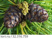 Купить «Two cones of evergreen Siberian dwarf pine. Closeup natural floral background», фото № 32316759, снято 10 июня 2019 г. (c) А. А. Пирагис / Фотобанк Лори