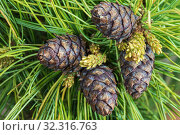 Купить «Four cones of evergreen dwarf Siberian pine. Close-up natural floral background», фото № 32316763, снято 10 июня 2019 г. (c) А. А. Пирагис / Фотобанк Лори