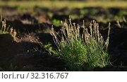 Купить «The Beautiful wild heather closeup a shot. Sunset», видеоролик № 32316767, снято 20 октября 2019 г. (c) Володина Ольга / Фотобанк Лори