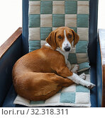 Drever, breed of dog, short-legged scenthound from Sweden used for hunting deer and other game. Dog on comfortable armchair. Стоковое фото, фотограф Валерия Попова / Фотобанк Лори