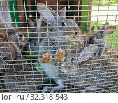 Купить «Серо-коричневые кролики в клетке», фото № 32318543, снято 21 июля 2019 г. (c) E. O. / Фотобанк Лори