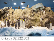 Купить «The king penguin (Aptenodytes patagonicus) is the second largest species of penguin, population in zoo», фото № 32322303, снято 4 января 2016 г. (c) Кекяляйнен Андрей / Фотобанк Лори