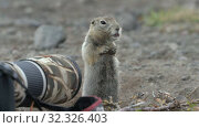 Купить «Expression Arctic ground squirrel eating nuts, posing in front of camera. Cute curious wild animal of genus of medium sized rodents of squirrel family», видеоролик № 32326403, снято 1 сентября 2019 г. (c) А. А. Пирагис / Фотобанк Лори