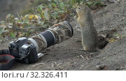 Купить «Expression Arctic ground squirrel eating nuts, posing in front of camera. Cute curious wild animal of genus of medium sized rodents of squirrel family», видеоролик № 32326411, снято 1 сентября 2019 г. (c) А. А. Пирагис / Фотобанк Лори
