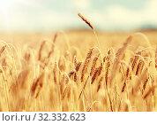 Купить «cereal field with spikelets of ripe rye or wheat», фото № 32332623, снято 31 июля 2016 г. (c) Syda Productions / Фотобанк Лори