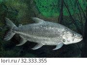 Купить «Большая тигровая рыба (Hydrocynus goliath)», фото № 32333355, снято 4 мая 2019 г. (c) Татьяна Белова / Фотобанк Лори