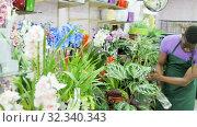 Купить «Experienced African-American male florist spraying potted flowers in flower shop», видеоролик № 32340343, снято 26 марта 2019 г. (c) Яков Филимонов / Фотобанк Лори