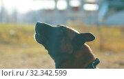 Купить «German shepherd dog barking on command», видеоролик № 32342599, снято 23 февраля 2020 г. (c) Константин Шишкин / Фотобанк Лори