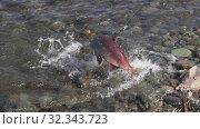 Купить «Poacher fisherman caught wild red salmon fish Sockeye Salmon (Oncorhynchus nerka) in river during spawning and kicks fish on rocky shore with his boot», видеоролик № 32343723, снято 20 августа 2019 г. (c) А. А. Пирагис / Фотобанк Лори