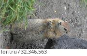 Купить «Portrait of cute Arctic ground squirrel. Vertical video», видеоролик № 32346563, снято 26 октября 2019 г. (c) А. А. Пирагис / Фотобанк Лори
