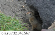 Curious but cautious wild animal Arctic ground squirrel peeps out of hole under stone and looking around. Стоковое видео, видеограф А. А. Пирагис / Фотобанк Лори