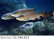 Купить «Белый амур (Ctenopharyngodon idella) пресноводные рыбы», фото № 32346823, снято 18 февраля 2019 г. (c) Татьяна Белова / Фотобанк Лори