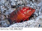Купить «Группер красный или коралловая гаруппа (Cephalopholis miniata)», фото № 32346827, снято 4 мая 2019 г. (c) Татьяна Белова / Фотобанк Лори