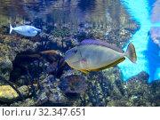 Купить «Рыба хирург Носорог Вламинга Bignose unicornfish Naso vlamingii», фото № 32347651, снято 18 февраля 2019 г. (c) Татьяна Белова / Фотобанк Лори
