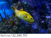 Купить «Аротрон черноточечный желтый. Морская рыба», фото № 32349751, снято 4 мая 2019 г. (c) Татьяна Белова / Фотобанк Лори