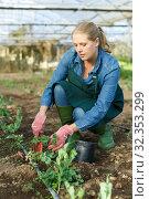 Купить «Woman replant seedlings in greenhouse», фото № 32353299, снято 3 октября 2018 г. (c) Яков Филимонов / Фотобанк Лори