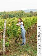 Купить «Девушка в джинсах собирает около виноград. Пасмурный осенний день», фото № 32360371, снято 5 октября 2019 г. (c) Наталья Гармашева / Фотобанк Лори