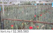 Купить «Plantation of flowers carnations in greenhouse», видеоролик № 32365583, снято 14 августа 2019 г. (c) Яков Филимонов / Фотобанк Лори