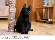 Чёрная кошка сидит около когтеточки. Стоковое фото, фотограф Dmitry29 / Фотобанк Лори